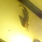 Riesen Gecko