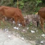 Kühe und Falschgeld :)