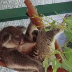Koala am schlafen