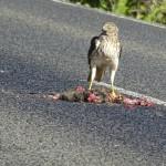 Adler isst Opposum