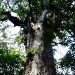 Kauri- Bäume